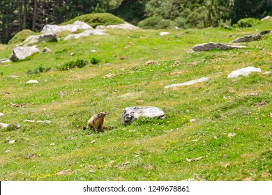 An Alpine marmot in the mountains near his hole