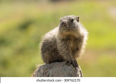 Alpine marmot on a rock