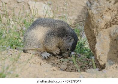 Alpine marmot taking a look in its burrow