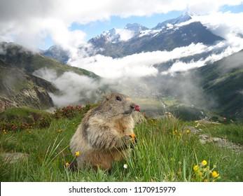 An alpine marmot watching carefully