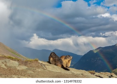 alpine marmots with mountains background and rainbow above, unique photo of marmots in the mountains with rainbow