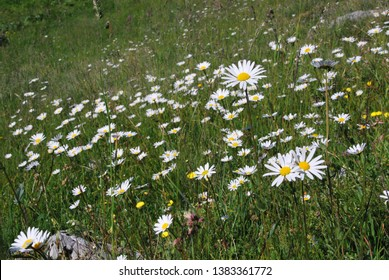alpine meadow with blossoming ox-eye daisy (Leucanthemum vulgare) at the bavarian alps, Germany