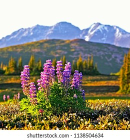 Alpine Meadow with cluster of Arctic Lupines in a field of white mountain heather