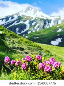 Alpine meadow with potentilla flowers blooming on Whistlers mountain in Jasper National Park Canada