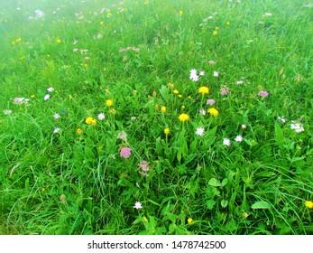Alpine meadow under Crna prst in the Julian alps (Slovenia) full of blooming flowers incl. pink Heracleum austriacum  Siifolium, pink Scorzonera rosea and yellow  Alpine hawksbeard (Crepis boccon) - Shutterstock ID 1478742500