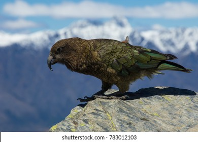 Alpine parrot kea in the mountains of New Zealand