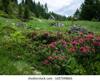Alpine pasture with beautiful alpenrose and small hut