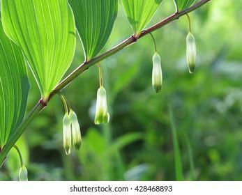 Polygonatum Odoratum Images, Stock Photos & Vectors