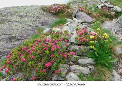 Alpine plants ( Rhododendron ferrugineum and Gentiana punctata )