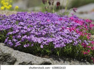 Alpine rock garden with flowering thyme