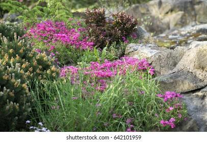 Alpine rock garden at sunset with pink flowering plants