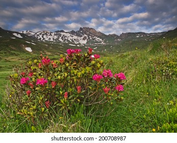 Alpine rose, Alpenrosen (Rhododendron hirsutum)