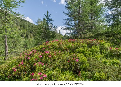 Alpine rose bush in the Alps, Austria