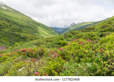 Alpine rose bush and mist in a valley in the Alps, Austria