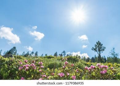 Alpine rose bush in a valley in the Alps, Austria