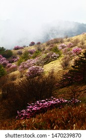 Alpine rose and high land scernary in Sichan China