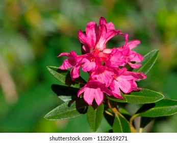 Alpine rose (Rhododendron ferrugineum)