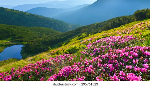 Alpine rose in summer mountains