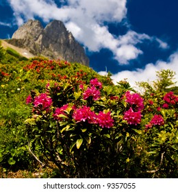 Alpine roses with mountains in the background. Focus is on the roses.