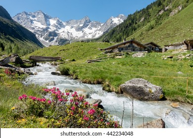 Alpine roses on mountain river in the pastures
