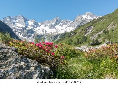 Alpine roses on rocks in the Alps