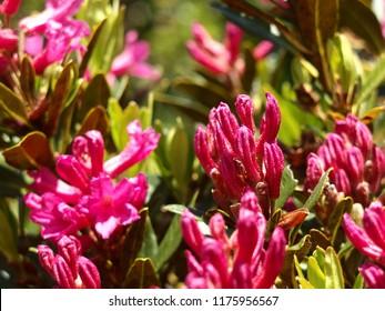 Alpine Roses - Rose Mountain Flowers Focus