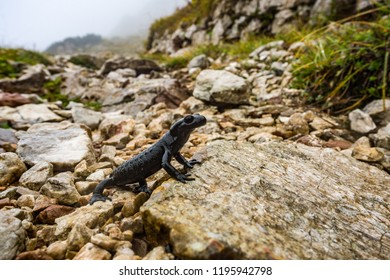 Alpine salamander crawling on a footpath on the mountain in a wet weather
