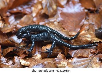 Alpine salamander (Salamandra atra):  two wild males fight for reproduction