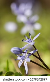 Alpine squill or two leaf squill, early spring purple flower growing from an underground bulb with two lance shaped leaves, latin Scilla bifolia