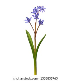 Alpine squill or two-leaf squill, Scilla bifolia