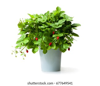 Alpine  strawberry plant in metallic bucket isolated on white