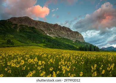 Alpine Sunflowers Arise Below Gothic Mountain at Dawn