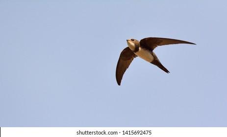 Alpine swift (Apus melba), Greece