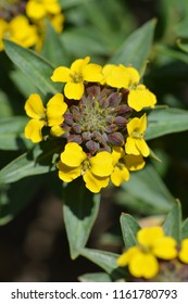Alpine Wallflower Golden Gem yellow flowers - Latin name - Erysimum Golden Gem