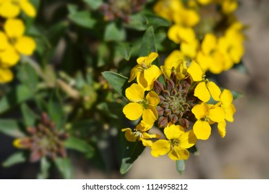 Alpine Wallflower yellow flowers - Latin name - Erysimum Golden Gem