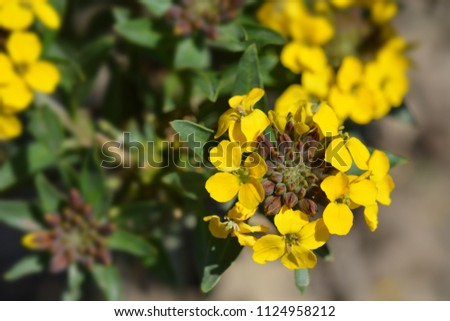Alpine wallflower yellow flowers latin name stock photo edit now alpine wallflower yellow flowers latin name erysimum golden gem mightylinksfo