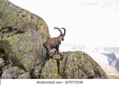 Alpine Wild Ibex Climbing Rocks on a Sunny Summer Day