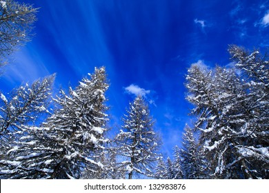 Alpine winter / Winter pine forest against clear blue sky in French Alps, Haute Savoie