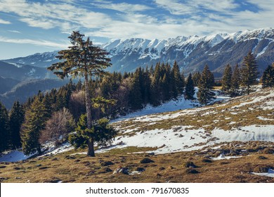Alpine winter scenery with solitary coniferous tree and snow-capped Piatra Craiului mountain range as seen from Zanoaga meadow, Romania.