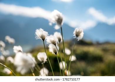 alpine woolgrass in Grimselpass, Switzerland