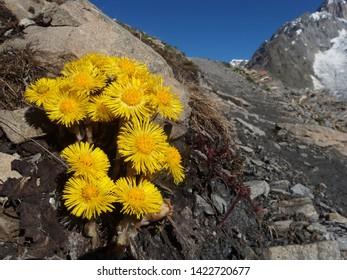 Alpine yellow flowers - coltsfoot (Tussilago farfara)