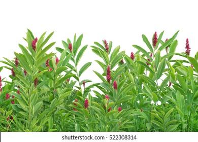Alpinia purpurata tropical plant isolated on white background