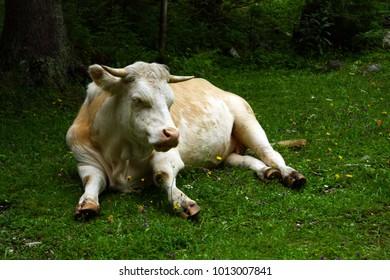 Alps cow lies