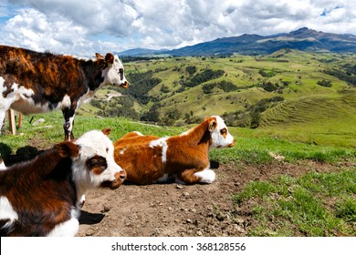 alps cows in the mountains, colombia, latin america