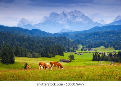 Alps and cows on pasture. Mountain landscape in summer day
