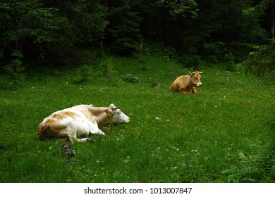 Alps cows relax
