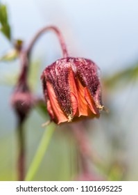 Alps flora: water avens (Geum rivale) nodding avens, drooping avens, cure-all, water flower and Indian chocolate