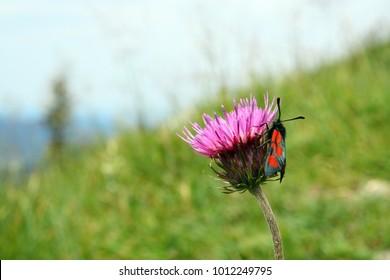 Alps flowers ni Austria