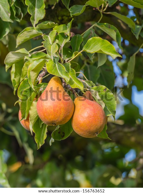 Already colored pears ripe for picking hanging on the tree in an orchard.