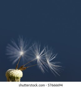 Already used Dandelion with tree remainig seeds on a dark blue background.